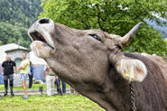 Domestic-Cow-Bellowing