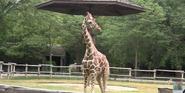 Henry Vilas Zoo Giraffe