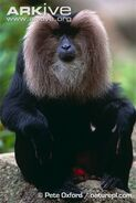 Lion-tailed-macaque-ventral-profile-captive
