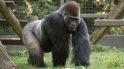 Lowland Gorilla.jpg