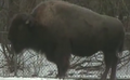 Rodger Williams Park Zoo Bison