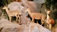Rolling Hills Zoo Klipspringers