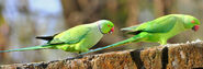 Rose-ringed-parakeet-male-and-female