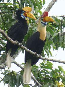 Sulawesi-red-knobbed-hornbill2.jpg