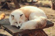 109210790-gold-platinum-fox-vulpes-vulpes-in-zao-fox-village-miyagi-japan-