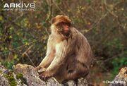 Barbary-macaque-.jpg
