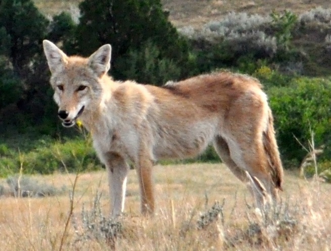 Plains Coyote