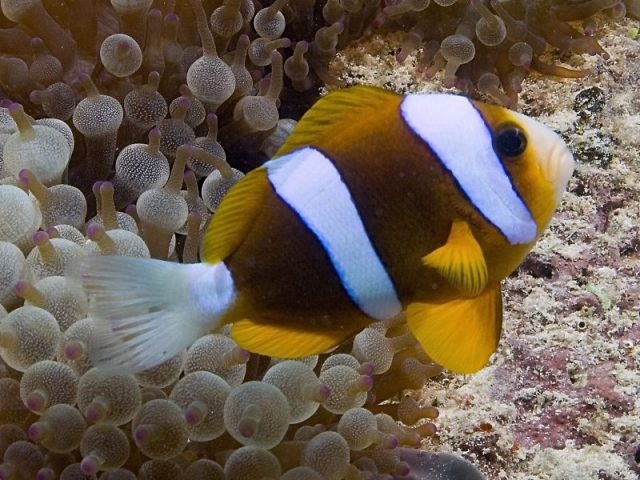 Barrier Reef Clownfish
