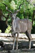 Greater Kudu LG