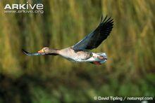 Greylag-goose-in-flight.jpg
