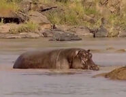 HugoSafari - Hippopotamus07