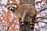 North American raccoon (Procyon lotor).jpg