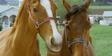 Racing Stripes Horse