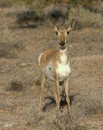 Sonoran-pronghorn-NPS-wm1-239x300