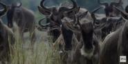 African Cats Wildebeests