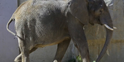 Brookfield Zoo Elephant