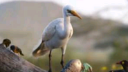 Cattle Egret TLK 2019