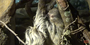 Cleveland Metroparks Zoo Sloth