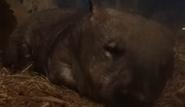 Columbus Zoo Wombat