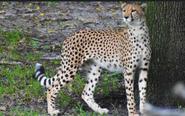 DAK Cheetah