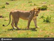 Female Masai Lion