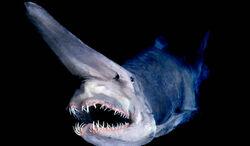 Goblin-shark.jpg