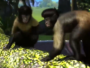 Golden-bellied-capuchin-zootycoon3