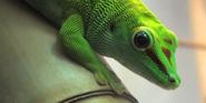 Jacksonville Zoo Gecko
