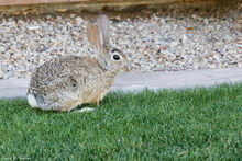 Mexican Cottontail.jpg