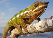 Panther chameleon (Furcifer chameleon)
