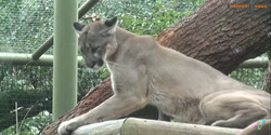 Tampa Lowry Park Zoo Cougar.png