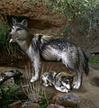 ZT-Mexican Gray Wolf