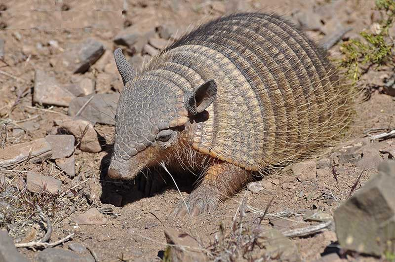 Andean Hairy Armadillo