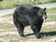 Bear, American Black (V2)