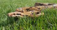 Biggest-Snakes -The-Boa-Constrictor