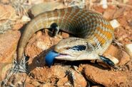 Blue-Tongued-Skink-Pictures1