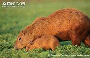 Capybara2