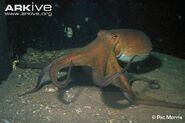 Common-octopus-swimming