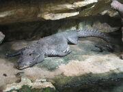 Crocodile, dwarf.jpg