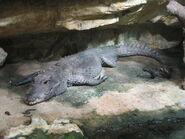 Crocodile, dwarf