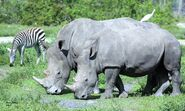 Egret Rhinoceros and Zebra