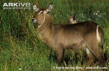 Female-Ellipsen-waterbuck-.jpg