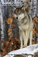 Great-Plains-wolf-front-view