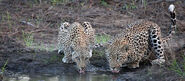Male and Female African Leopards