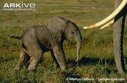 Newborn-African-elephant