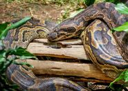 Python, African Rock (V2)