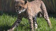 Tanzanian Cheetah Cub