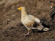 The Egyptian Vultures