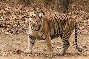 TigerImage