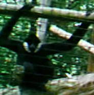 Toledo Zoo Gibbon